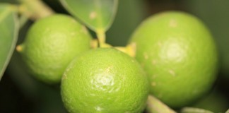 มะนาว Key lime