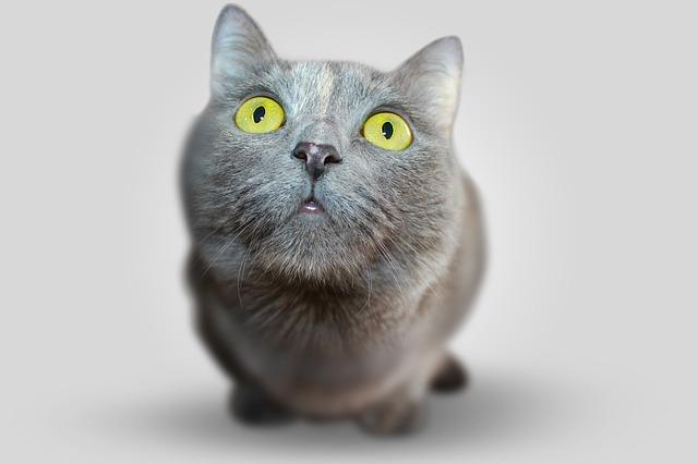 มุมมองแมวดวงตาสีเทา
