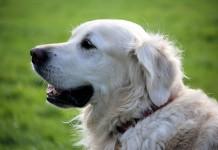 Retriever สุนัขสีขาว
